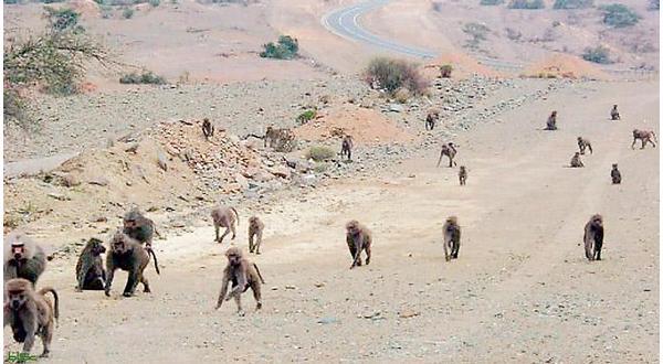 Photo of القرود في الهند تسرق عينات الكورونا