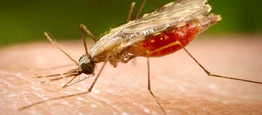 بعوضة ملاريا