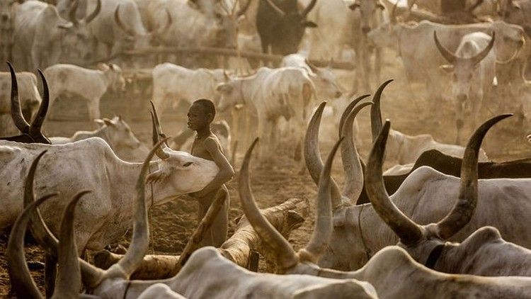 Photo of مواطن سوداني يذبح ثور إبتهاجاً بإعفاء والي ولاية