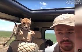 Photo of بالفيديو…فهد يقفز إلى سيارة والسائق يحاول أن يبقى بلا حراك